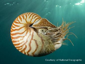 swimming Nautilus